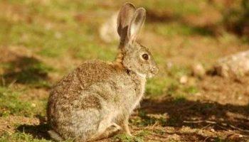 Caudete se incluye en la comarca de emergencia cinegética temporal por daños de conejo de monte