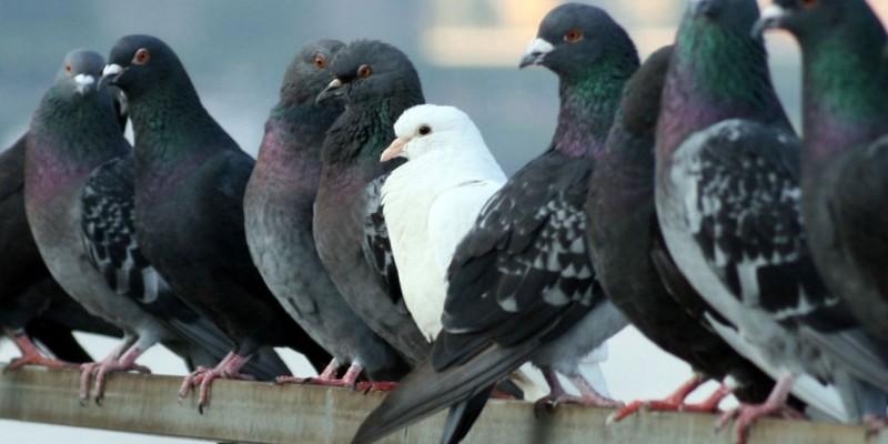 Un nuevo servicio municipal controlará la población de palomas para evitar los problemas que provocan, Caudete Digital - Noticias y actualidad de Caudete (Albacete)