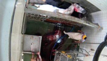 La ONG Equalia denuncia con un video malas prácticas en el matadero de Caudete