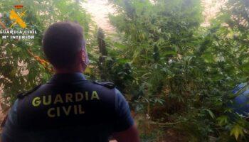 Detenido un vecino de Caudete por cultivar plantas de cannabis sativa en el interior de un corral