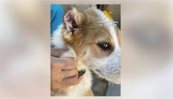 Investigada una persona de Caudete por mutilar las orejas y los rabos a tres cachorros de perro